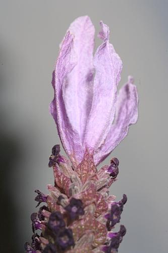 Lavandula stoechas subsp. stoechas L.
