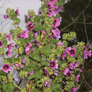 Lavatera arborea L.