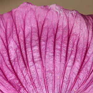 Lavatera triloba L.