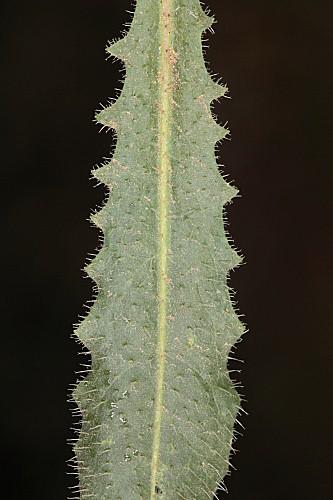 Leontodon longirrostris (Finch & P. D. Sell) Talavera