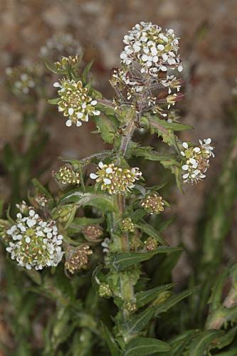 Lepidium heterophyllum (DC.) Benth.