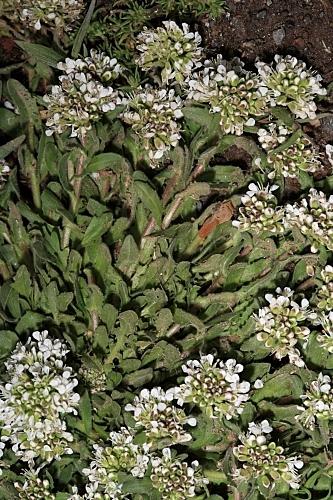 Lepidium petrophilum Coss.