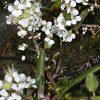 Lepidium stylatum Lag. & Rodr.