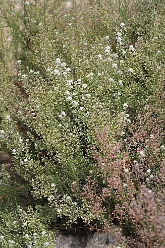Lepidium subulatum L.