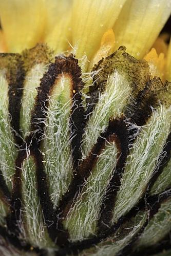 Leucanthemopsis pallida (Mill.) Heywood