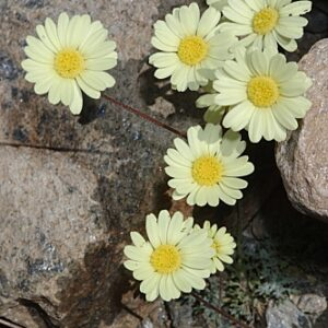 Leucanthemopsis pectinata (L.) G. López & Ch. E. Jarvis