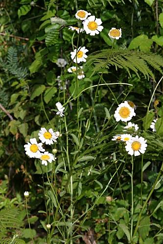 Leucanthemum sylvaticum (Hoffmanns. & Link) Nyman