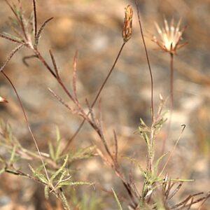 Leysera leyseroides (Desf.) Maire