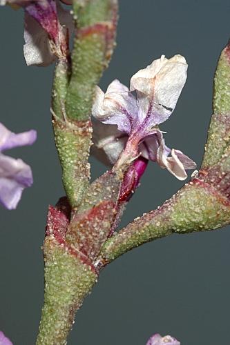 Limoniastrum monopetalum (L.) Boiss.