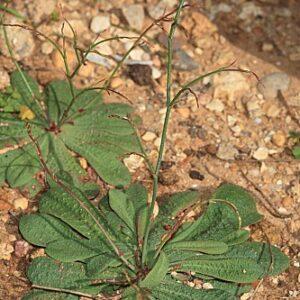 Limonium echioides (L.) Mill.
