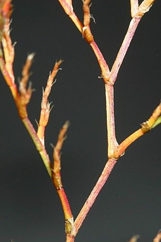 Limonium ferulaceum (L.) Chaz.
