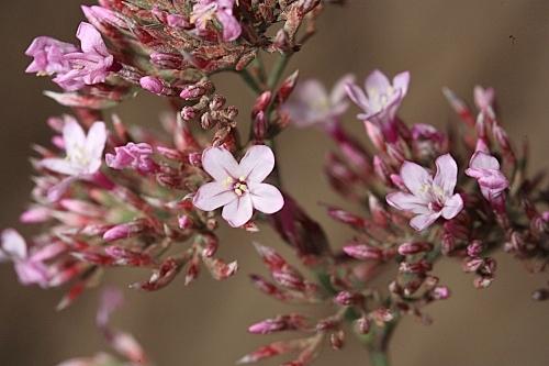 Limonium insigne (Coss.) Kuntze