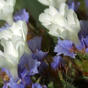 Limonium sinuatum (L.) Mil.