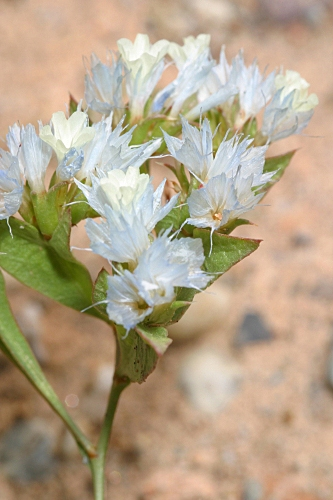 Limonium lobatum (L. fil.) Chaz.