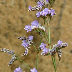 Limonium virgatum (Willd.) Fourr.