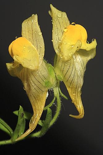 Linaria verticillata subsp. verticillata Boiss.