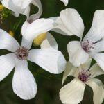 Linum suffruticosum jimenzii 0003