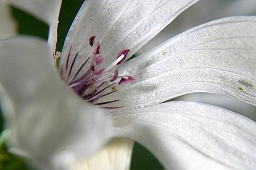 Linum suffruticosum jimenzii 0005