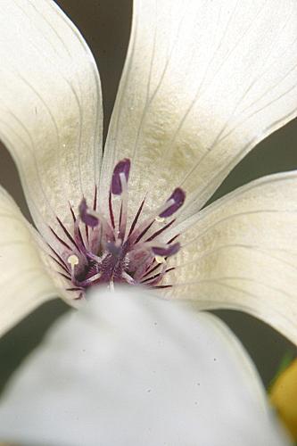 Linum suffruticosum jimenzii 0006