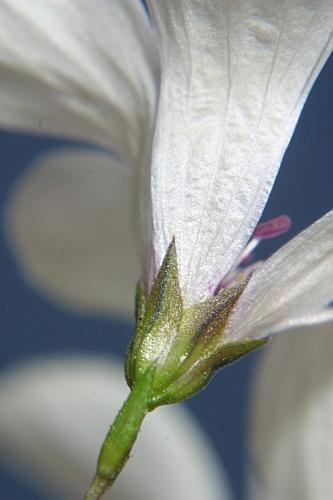 Linum suffruticosum jimenzii 0007