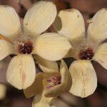 Linum suffruticosum jimenzii 0011