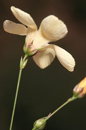 Linum suffruticosum jimenzii 0013
