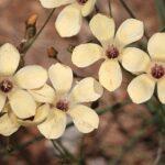 Linum suffruticosum jimenzii 0014