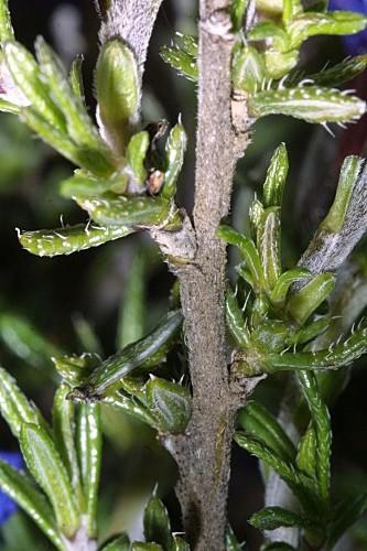 Lithodora fruticosa (L.) Griseb.