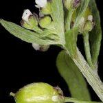 Lobularia lybica (Viv.) Meisn.