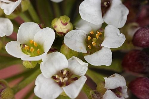 Lobularia maritima subsp. maritima (L.) Desv.