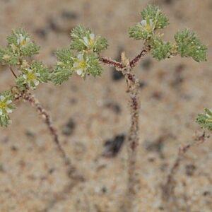 Loeflingia baetica Lag.