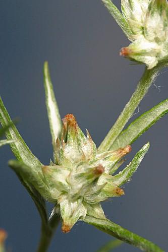 Logfia gallica (L.) Coss. & Germ.