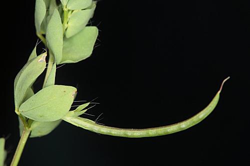 Lotus conimbricensis Brot.