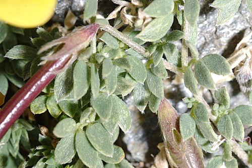 Lotus corniculatus subsp. glacialis (Boiss.) Valdés