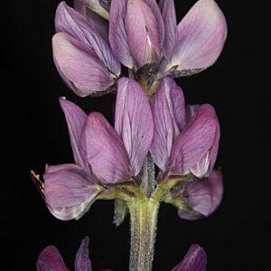Lupinus hispanicus Boiss. & Reut.