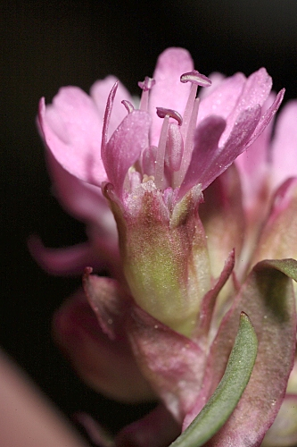 Lychnis alpina L.