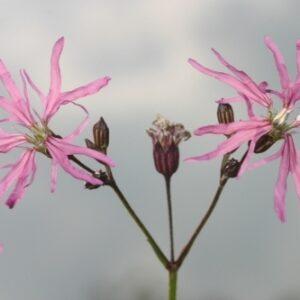 Lychnis flos-cuculi L.