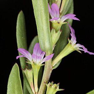Lythrum junceum Banks & Sol.