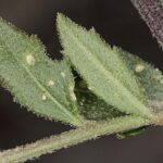 Malcolmia africana (L.) R. Br.