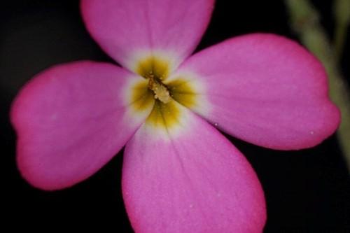 Malcolmia triloba (L.) Spreng.