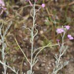 Malcolmia littorea (L.) R. Br.