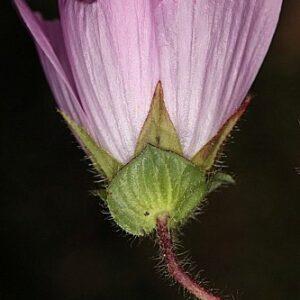 Malope malacoides L.