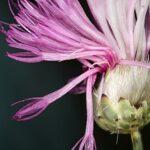Mantisalca salmantica (L.) Briq. & Cav.