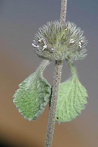 Marrubium supinum L.