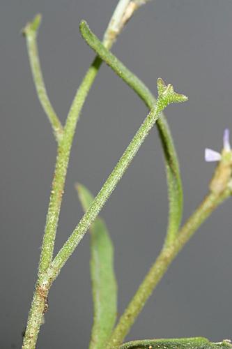Matthiola tricuspidata (L.) R. Br.