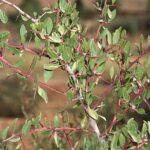 Maytenus senegalensis (Lam.) Exell