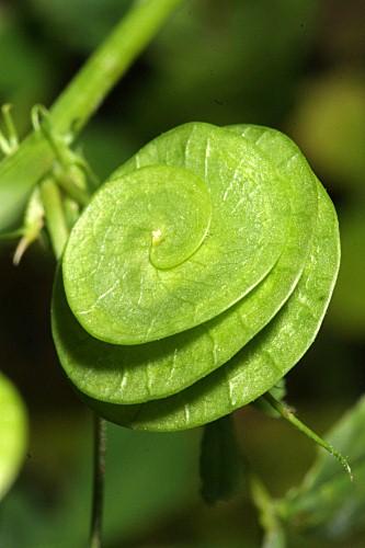 Medicago orbicularis (L.) Bartal.