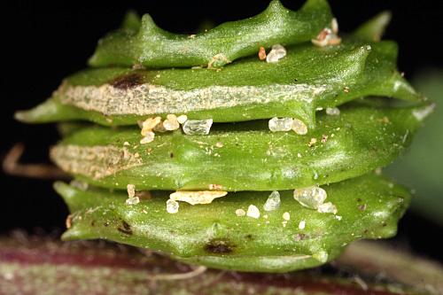 Medicago rigidula (L.) All.