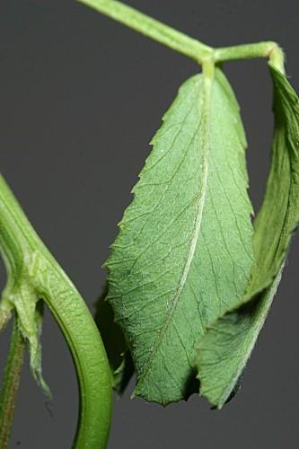 Melilotus indicus (L.) All.