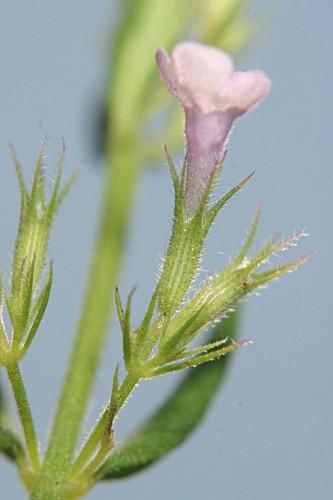 Micromeria graeca (L.) Benth. ex Rchb.